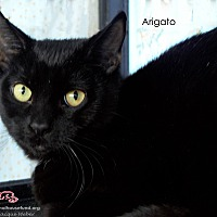 Domestic Shorthair Cat for adoption in St Louis, Missouri - Arigato