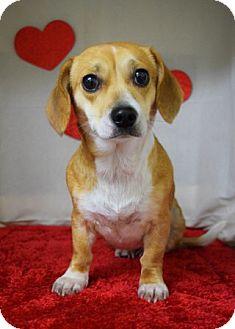 Dachshund Mix Dog for adoption in Dublin, California - Betty