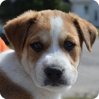 Border Collie Mix Puppy for adoption in Columbia, Illinois - Cooper
