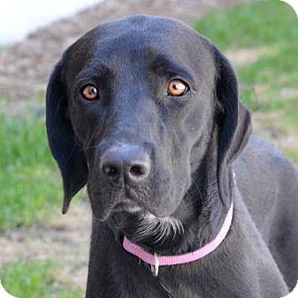 Mastiff/Labrador Retriever Mix Dog for adoption in Denver, Colorado - Daisy