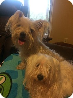 Maltese Mix Dog for adoption in Glastonbury, Connecticut - Maggie and Molly