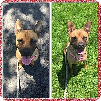 Shepherd (Unknown Type)/Shiba Inu Mix Dog for adoption in McDonald, Ohio - Rosie