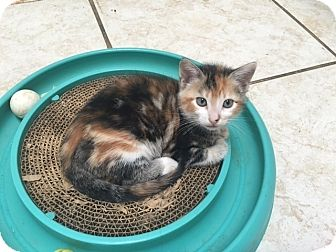 Domestic Shorthair Kitten for adoption in Tampa, Florida - Mystique