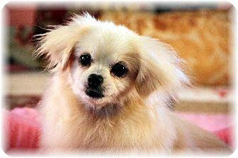 Pomeranian/Poodle (Miniature) Mix Dog for adoption in Dallas, Texas - Taffy