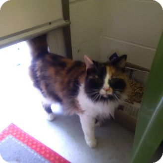 Domestic Mediumhair Cat for adoption in North Kingstown, Rhode Island - Fluffy