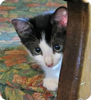 Domestic Shorthair Kitten for adoption in Gonzales, Texas - Topper