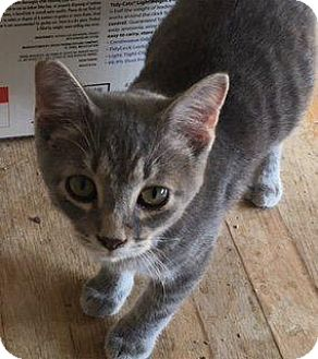 Domestic Shorthair Kitten for adoption in Danbury, Connecticut - Bud