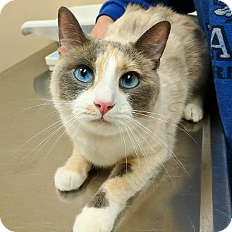 Snowshoe Cat for adoption in Los Angeles, California - Hayley