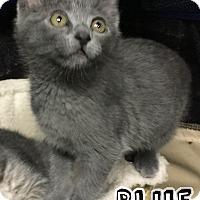 Adopt A Pet :: Blue - Bonsall, CA
