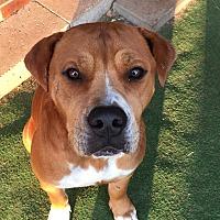 Adopt A Pet :: Duke - Aurora, CO
