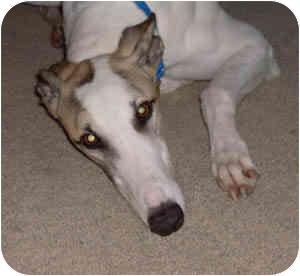 Greyhound Dog for adoption in Lexington, South Carolina - Dakota