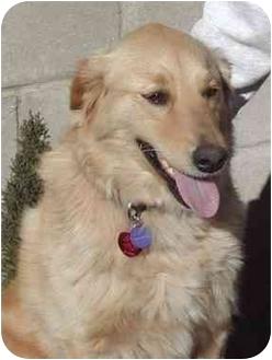 Golden Retriever Dog for adoption in El Segundo, California - Breck