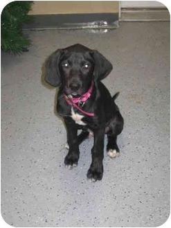 Labrador Retriever/Coonhound (Unknown Type) Mix Puppy for adoption in Naperville, Illinois - Cooper-Pending Adoption
