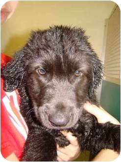 Labradoodle/Labradoodle Mix Puppy for adoption in Vandalia, Illinois - Brogan