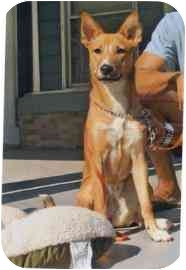 Shepherd (Unknown Type) Mix Dog for adoption in Old Bridge, New Jersey - Brazil