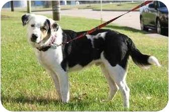Bernese Mountain Dog/Hound (Unknown Type) Mix Dog for adoption in Houston, Texas - Carl