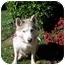 Photo 2 - Siberian Husky Dog for adoption in Boyertown, Pennsylvania - Misty 2