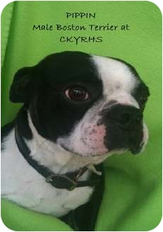 Boston Terrier Dog for adoption in Lancaster, Kentucky - Pippin