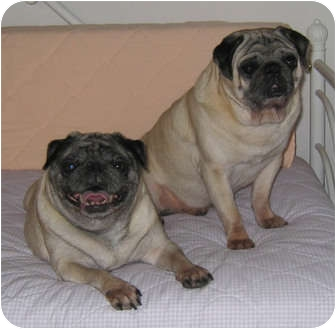 Pug Dog for adoption in Windermere, Florida - Pixie