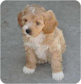 Cockapoo/Cocker Spaniel Mix Puppy for adoption in La Habra Heights, California - Marcel