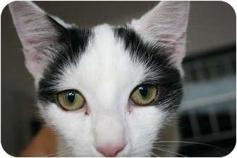 Domestic Shorthair Kitten for adoption in Frederick, Maryland - Domino