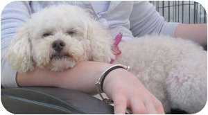 Poodle (Toy or Tea Cup) Dog for adoption in Rochester Hills, Michigan - Suzie