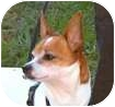 Rat Terrier/Chihuahua Mix Dog for adoption in Toronto, Ontario - Rusty