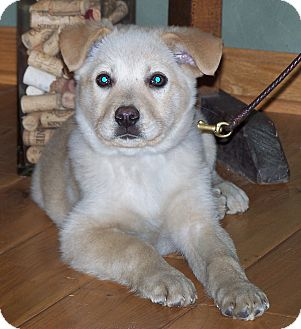 Labrador Retriever Mix Puppy for adoption in Milford, New Jersey - Kash