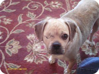 Pug/Beagle Mix Dog for adoption in Manahawkin, New Jersey - Harlee
