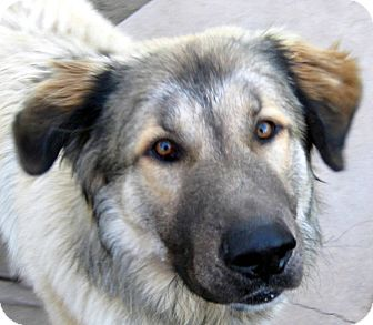 Leonberger Dog for adoption in Oakley, California - Tonka