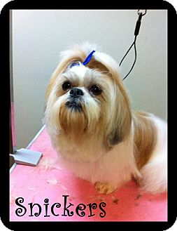 Shih Tzu Dog for adoption in Rockwall, Texas - Snickers