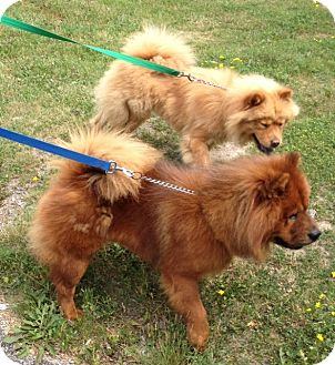 Chow Chow Dog for adoption in Tillsonburg, Ontario - Lucy