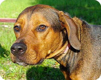 Hound (Unknown Type) Mix Dog for adoption in Daytona Beach, Florida - Boomer