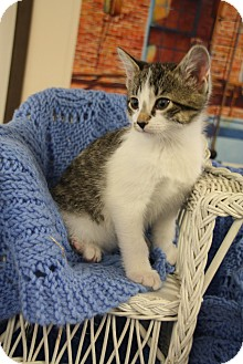 Domestic Shorthair Kitten for adoption in Nashville, Tennessee - Jill