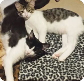 American Shorthair Cat for adoption in Forest Hills, New York - Bandit
