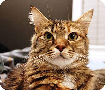 Domestic Mediumhair Cat for adoption in Irvine, California - Holly