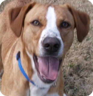 Rhodesian Ridgeback/Catahoula Leopard Dog Mix Dog for adoption in Olive Branch, Mississippi - Shadow
