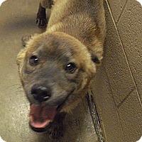 Adopt A Pet :: Yote - Wickenburg, AZ