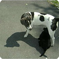 Adopt A Pet :: Mama Sox - CHESTERFIELD, MI