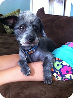 Miniature Schnauzer/Poodle (Toy or Tea Cup) Mix Puppy for adoption in Santa Monica, California - Mogul