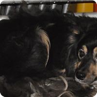 Adopt A Pet :: URGENT CINDY - Cornwall, ON