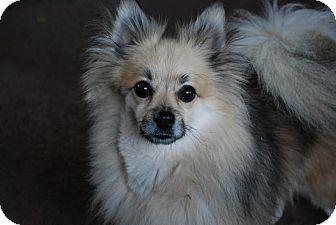 Pomeranian Dog for adoption in San Francisco, California - 2 beautiful Poms <3