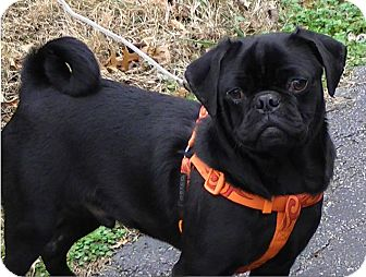 Pug Puppy for adoption in Foster, Rhode Island - Malcolm