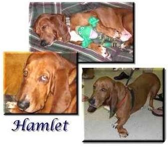 Basset Hound Dog for adoption in Marietta, Georgia - Hamlet