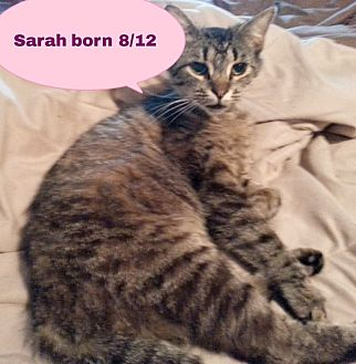 Domestic Shorthair Cat for adoption in Salisbury, North Carolina - Sarah
