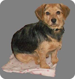 Silky Terrier/Beagle Mix Dog for adoption in Huntsville, Alabama - Bitsy