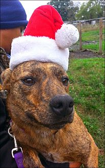 Terrier (Unknown Type, Small) Mix Dog for adoption in Huntington, New York - Neesha - N