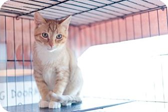 American Shorthair Cat for adoption in Gainesville, Virginia - Rex