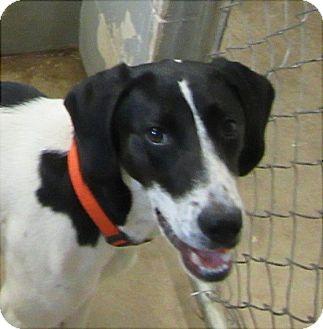 German Shorthaired Pointer/Coonhound Mix Puppy for adoption in Glenwood, Minnesota - Peppa