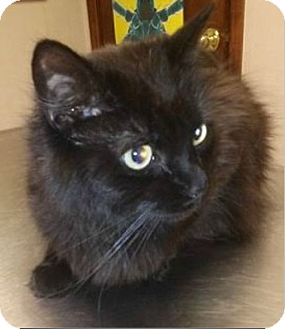 Maine Coon Cat for adoption in Northfield, Ohio - Deni